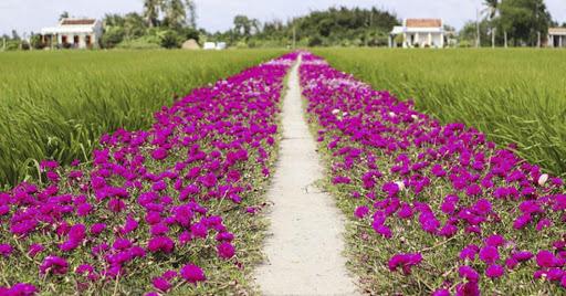 Về Tiền Giang – Ngắm con đường hoa mười giờ đẹp như tranh vẽ